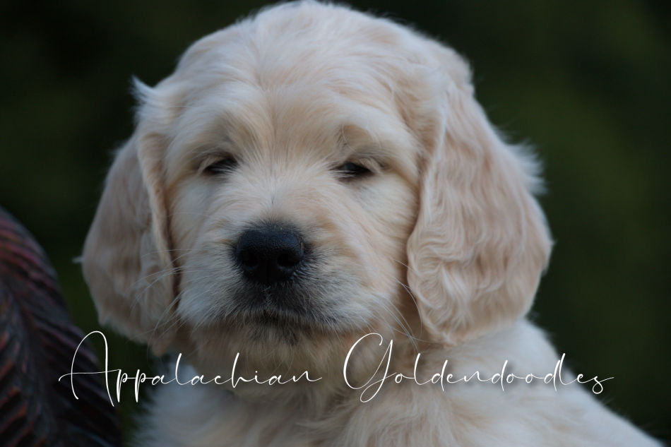 F1 & F1B English Teddybear Goldendoodle puppies