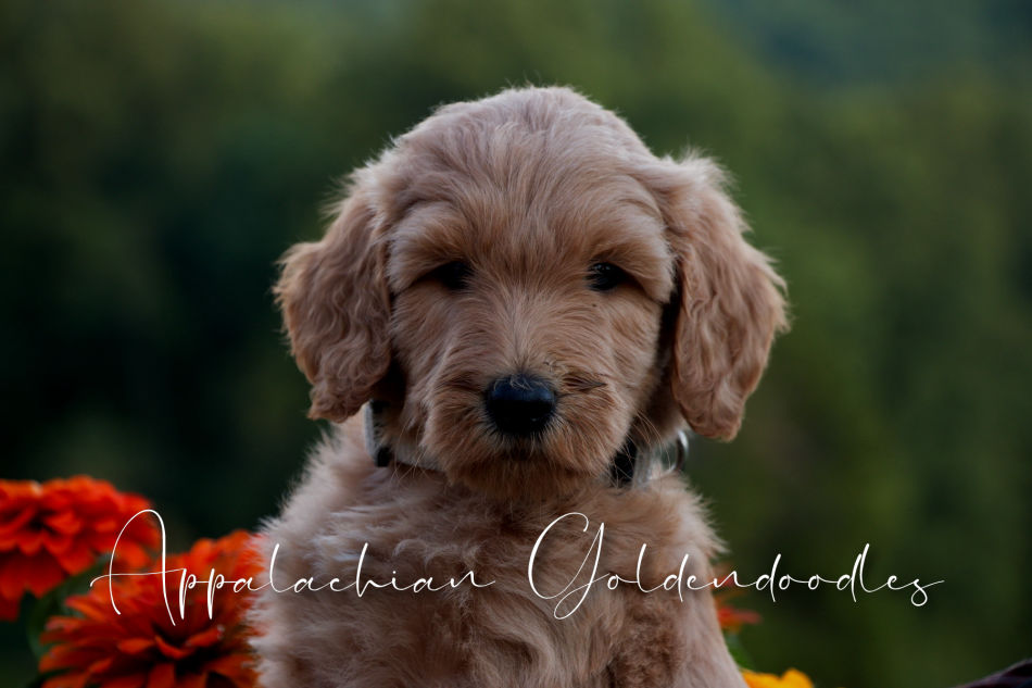 Teacup Goldendoodle Texas