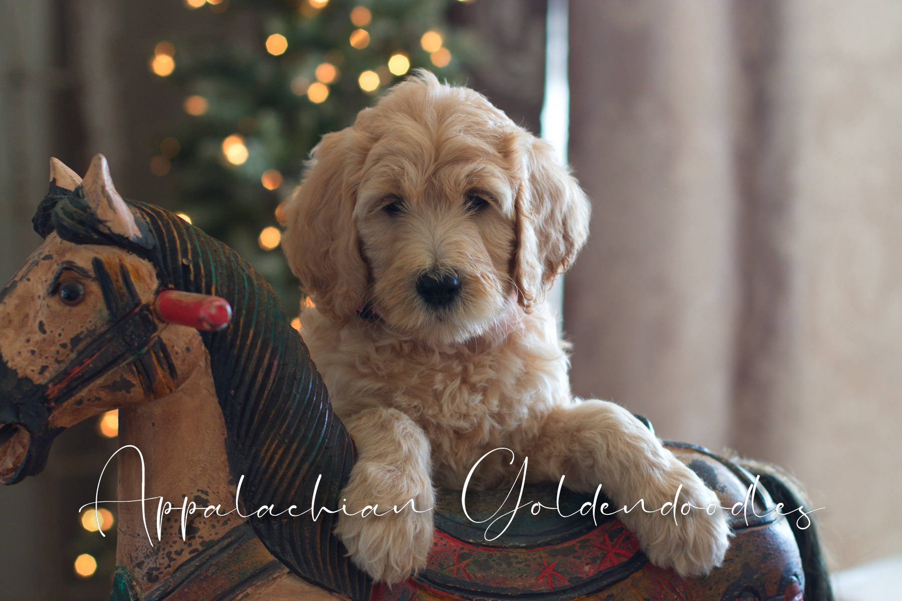 F1 F1b English Teddybear Goldendoodle Bernedoodles